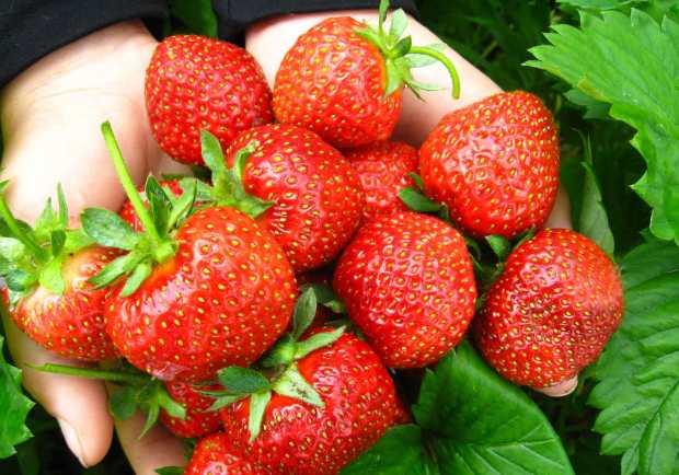 jordgubbar_sorter